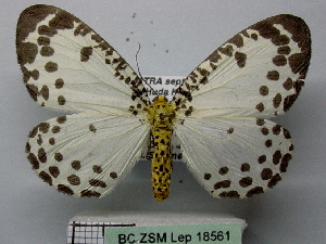 (Abraxas invasata - BC ZSM Lep 18561)  @14 [ ] Copyright (2010) Unspecified Bavarian State Collection of Zoology (ZSM)