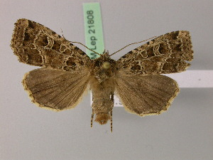 ( - BC ZSM Lep 21808)  @14 [ ] Copyright (2010) Unspecified Bavarian State Collection of Zoology (ZSM)