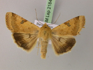 ( - BC ZSM Lep 21841)  @11 [ ] Copyright (2010) Unspecified Bavarian State Collection of Zoology (ZSM)