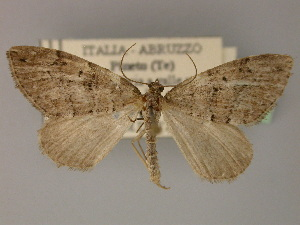 ( - BC ZSM Lep 21971)  @11 [ ] Copyright (2010) Unspecified Bavarian State Collection of Zoology (ZSM)