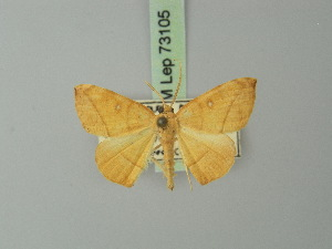 (Drepanodes - BC ZSM Lep 73105)  @11 [ ] Axel Hausmann/Bavarian State Collection of Zoology (ZSM) (2015) Axel Hausmann/Bavarian State Collection of Zoology (ZSM) Bavarian State Collection of Zoology