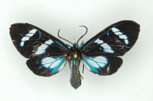 (Agyrtidia - BC ZSM Lep 15502)  @13 [ ] Copyright (2010) Unspecified Bavarian State Collection of Zoology (ZSM)
