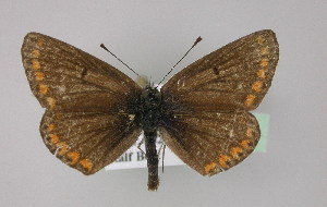 ( - BC ZSM Lep 18621)  @13 [ ] Copyright (2010) Unspecified Bavarian State Collection of Zoology (ZSM)