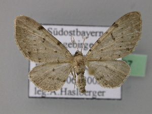 ( - BC ZSM Lep 22797)  @14 [ ] Copyright (2010) Unspecified Bavarian State Collection of Zoology (ZSM)