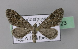 ( - BC ZSM Lep 22823)  @13 [ ] Copyright (2010) Unspecified Bavarian State Collection of Zoology (ZSM)