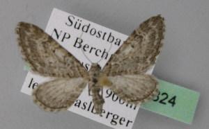 ( - BC ZSM Lep 22824)  @12 [ ] Copyright (2010) Axel Hausmann/Bavarian State Collection of Zoology (ZSM) SNSB, Zoologische Staatssammlung Muenchen