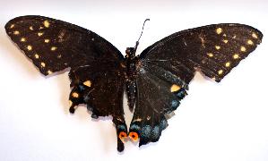 (Papilio polyxenes polyxenes - BC ZSM Lep 91541)  @11 [ ] by-nc-sa (2016) SNSB, Staatliche Naturwissenschaftliche Sammlungen Bayerns ZSM (SNSB, Zoologische Staatssammlung Muenchen)