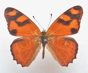 (Lucinia - BC ZSM Lep 91586)  @11 [ ] by-nc-sa (2016) SNSB, Staatliche Naturwissenschaftliche Sammlungen Bayerns ZSM (SNSB, Zoologische Staatssammlung Muenchen)