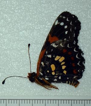 (Atlantea - BC ZSM Lep 92833)  @11 [ ] Axel Hausmann/Bavarian State Collection of Zoology (ZSM) (2016) Axel Hausmann/Bavarian State Collection of Zoology (ZSM) SNSB, Zoologische Staatssammlung Muenchen