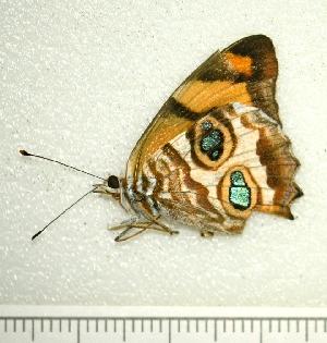 (Lucinia - BC ZSM Lep 92861)  @13 [ ] Axel Hausmann/Bavarian State Collection of Zoology (ZSM) (2016) Axel Hausmann/Bavarian State Collection of Zoology (ZSM) SNSB, Zoologische Staatssammlung Muenchen