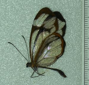 (Greta cubana - BC ZSM Lep 93804)  @11 [ ] by-nc-sa (2016) SNSB, Staatliche Naturwissenschaftliche Sammlungen Bayerns ZSM (SNSB, Zoologische Staatssammlung Muenchen)