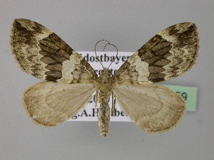 ( - BC ZSM Lep 24159)  @11 [ ] Copyright (2010) Unspecified Bavarian State Collection of Zoology (ZSM)