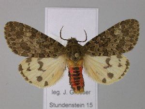 (Olepa - BC ZSM Lep 24273)  @14 [ ] Copyright (2010) Unspecified Bavarian State Collection of Zoology (ZSM)