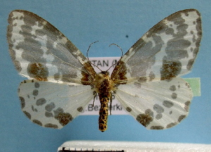 (Abraxas pusilla - BC ZSM Lep 32559)  @13 [ ] Copyright (2010) Unspecified Bavarian State Collection of Zoology (ZSM)
