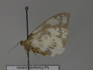 ( - BC ZSM Lep 29808)  @12 [ ] Copyright (2010) Unspecified Bavarian State Collection of Zoology (ZSM)