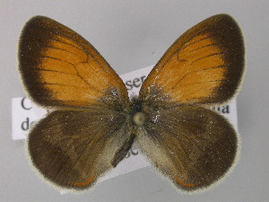 ( - BC ZSM Lep 32148)  @13 [ ] Copyright (2010) Unspecified Bavarian State Collection of Zoology (ZSM)