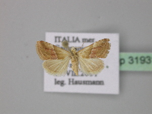 ( - BC ZSM Lep 31931)  @14 [ ] Copyright (2010) Unspecified Bavarian State Collection of Zoology (ZSM)