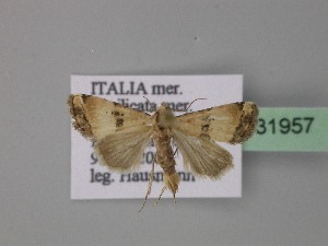 ( - BC ZSM Lep 31957)  @13 [ ] Copyright (2010) Unspecified Bavarian State Collection of Zoology (ZSM)