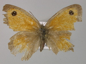 ( - BC ZSM Lep 30393)  @12 [ ] Copyright (2010) Unspecified Bavarian State Collection of Zoology (ZSM)