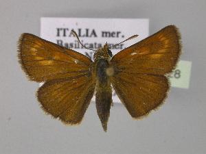 ( - BC ZSM Lep 30428)  @11 [ ] Copyright (2010) Axel Hausmann/Bavarian State Collection of Zoology (ZSM) SNSB, Zoologische Staatssammlung Muenchen