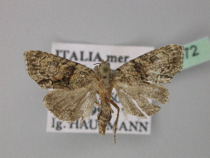 (Euthales - BC ZSM Lep 30972)  @14 [ ] Copyright (2010) Unspecified Bavarian State Collection of Zoology (ZSM)