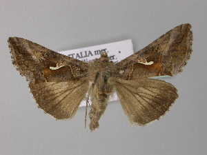 ( - BC ZSM Lep 31060)  @13 [ ] Copyright (2010) Unspecified Bavarian State Collection of Zoology (ZSM)