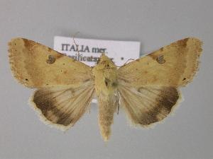 ( - BC ZSM Lep 31080)  @11 [ ] Copyright (2010) Axel Hausmann/Bavarian State Collection of Zoology (ZSM) SNSB, Zoologische Staatssammlung Muenchen