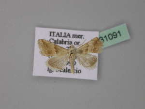 ( - BC ZSM Lep 31091)  @13 [ ] Copyright (2010) Unspecified Bavarian State Collection of Zoology (ZSM)
