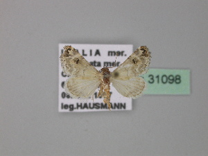 (Coccidiphaga - BC ZSM Lep 31098)  @13 [ ] Copyright (2010) Unspecified Bavarian State Collection of Zoology (ZSM)