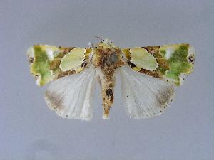 (Nacna - BC ZSM Lep 34609)  @11 [ ] Copyright (2010) Axel Hausmann/Bavarian State Collection of Zoology (ZSM) SNSB, Zoologische Staatssammlung Muenchen