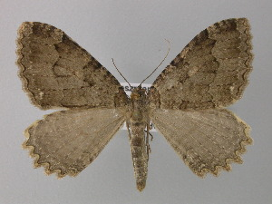 ( - BC ZSM Lep 35612)  @14 [ ] Copyright (2010) Unspecified Bavarian State Collection of Zoology (ZSM)