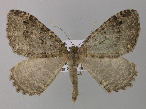 ( - BC ZSM Lep 35614)  @13 [ ] Copyright (2010) Unspecified Bavarian State Collection of Zoology (ZSM)