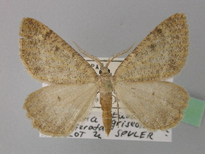 (Dasypteroma - BC ZSM Lep 36698)  @14 [ ] Copyright (2010) Unspecified Bavarian State Collection of Zoology (ZSM)