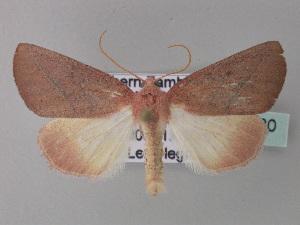 (Terpnostala - BC ZSM Lep 33130)  @14 [ ] Copyright (2010) Unspecified Bavarian State Collection of Zoology (ZSM)