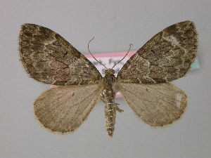( - BC ZSM Lep 34421)  @11 [ ] Copyright (2010) Unspecified Bavarian State Collection of Zoology (ZSM)
