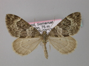 ( - BC ZSM Lep 34422)  @11 [ ] Copyright (2010) Unspecified Bavarian State Collection of Zoology (ZSM)