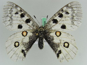 (Parnassius apollo claudius - BC ZSM Lep 45833)  @12 [ ] Copyright (2010) Axel Hausmann/Bavarian State Collection of Zoology (ZSM) Bavarian State Collection of Zoology (ZSM)