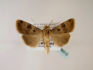 (Agrotis trux arsinaria - BC ZSM Lep 48510)  @14 [ ] CreativeCommons - Attribution Non-Commercial Share-Alike (2010) Axel Hausmann SNSB, Zoologische Staatssammlung Muenchen