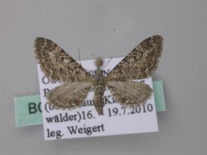 ( - BC ZSM Lep 49201)  @12 [ ] Copyright (2010) Axel Hausmann/Bavarian State Collection of Zoology (ZSM) SNSB, Zoologische Staatssammlung Muenchen