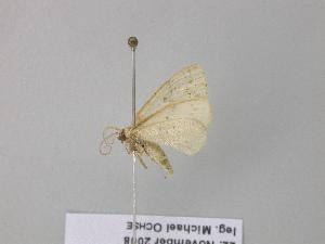 ( - BC ZSM Lep 39551)  @13 [ ] Copyright (2011) Axel Hausmann/Bavarian State Collection of Zoology (ZSM) SNSB, Zoologische Staatssammlung Muenchen