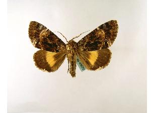 (Trisuloides - BC ZSM Lep 48670)  @14 [ ] Copyright (2010) Axel Hausmann/Bavarian State Collection of Zoology (ZSM) SNSB, Zoologische Staatssammlung Muenchen