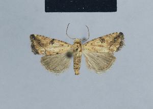 (Eublemminae - BC ZSM Lep 48093)  @14 [ ] Copyright (2010) Axel Hausmann/Bavarian State Collection of Zoology (ZSM) Bavarian State Collection of Zoology (ZSM)