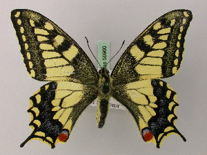 (Papilio machaon syriacus - BC ZSM Lep 56960)  @14 [ ] Copyright (2011) Axel Hausmann/Bavarian State Collection of Zoology (ZSM) SNSB, Zoologische Staatssammlung Muenchen