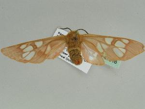 (Pseudothyretes - BC ZSM Lep 47516)  @13 [ ] Copyright (2011) Axel Hausmann/Bavarian State Collection of Zoology (ZSM) Bavarian State Collection of Zoology
