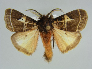 (Lymantria modesta - BC ZSM Lep 47744)  @14 [ ] Copyright (2011) Axel Hausmann/Bavarian State Collection of Zoology (ZSM) SNSB, Zoologische Staatssammlung Muenchen