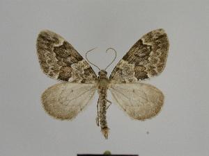 ( - SE MNC Lep 00801)  @11 [ ] Copyright (2011) Sven Erlacher Museum of Natural History Chemnitz