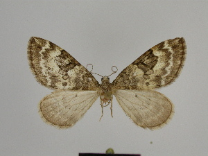 ( - SE MNC Lep 00802)  @11 [ ] Copyright (2011) Sven Erlacher Museum of Natural History Chemnitz