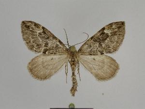 ( - SE MNC Lep 00804)  @11 [ ] Copyright (2011) Sven Erlacher Museum of Natural History Chemnitz