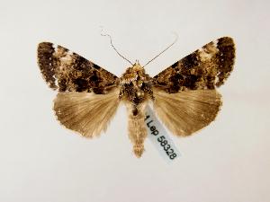Ulotrichopus rama