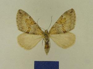 ( - BMB Lep 00705)  @13 [ ] Copyright (2012) Axel Hausmann/Bavarian State Collection of Zoology (ZSM) Bavarian State Collection of Zoology